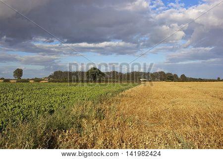 Pea And Sugar Beet Crops