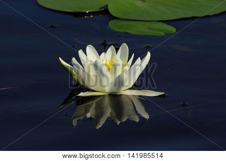 white water-lily is decorated with contrasting dark blue surface of the pond. On a background of white petals stand out spectacularly yellow stamens
