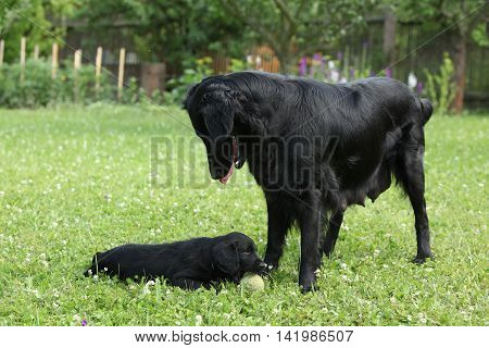 Flat Coated Retriever - Bitch With Puppies