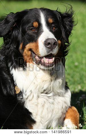 Nice Bernesse Mountain Dog In The Garden