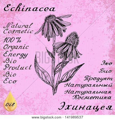 Echinacea hand drawn sketch botanical illustration. Vector drawing. Medical herbs. Lettering in English and Russian languages. Grunge background. Oil drop
