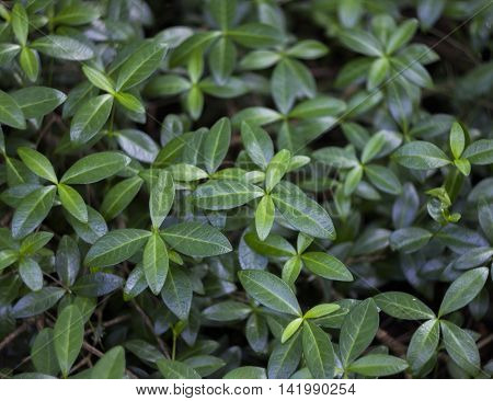 close-up green leaves of periwinkle at the forest