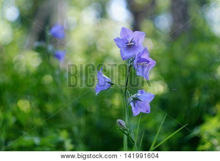 Wild bluebells flowers closeup on green grass background