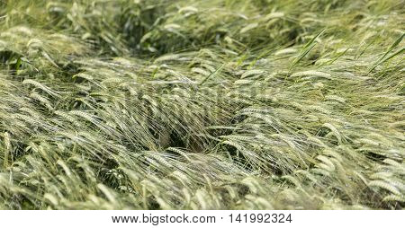 Barley Field Blowing in the Wind close up.