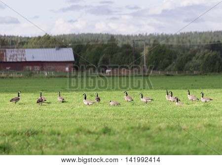 Canada Geese in Farm Field with forest behind.