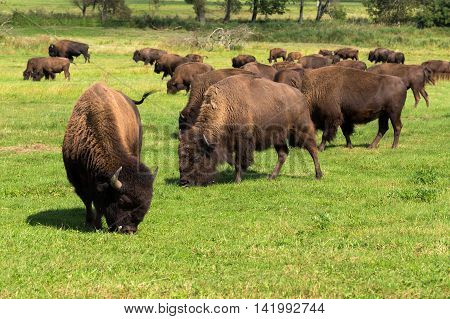 American Bison(bison Bison) Simply Buffalo