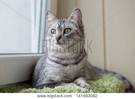 poster of Grey cat on a sofa close up, portrait of little curious cat, grey cat, domestic animal at home, cat at home, young curious cat