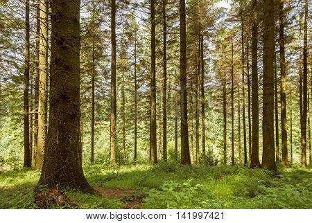 Typical British woodland with large deciduous trees