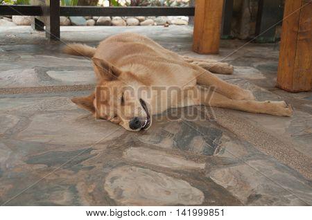 thai dog sleep on in the morning
