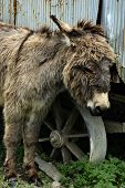 image of jack-ass  - Young donkey standing near trailer at domestic farmland - JPG