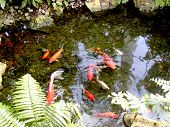 stock photo of koi fish  - Koi fish swimming in a large pond - JPG