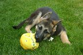 foto of shepherd dog  - a German shepherd puppy plays outside with her ball - JPG