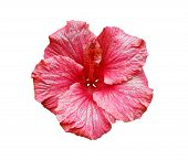 Pink Hibiscus Flower Isolated
