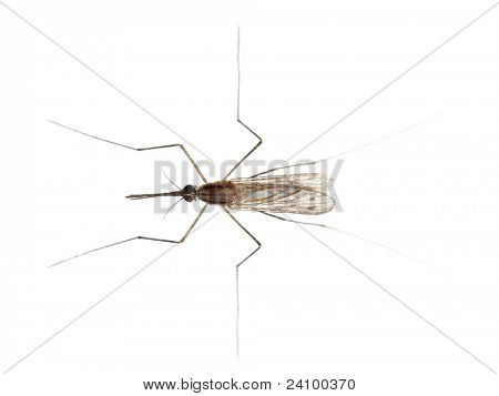 High angle view of Common gnat, Culex pipien, in front of white background
