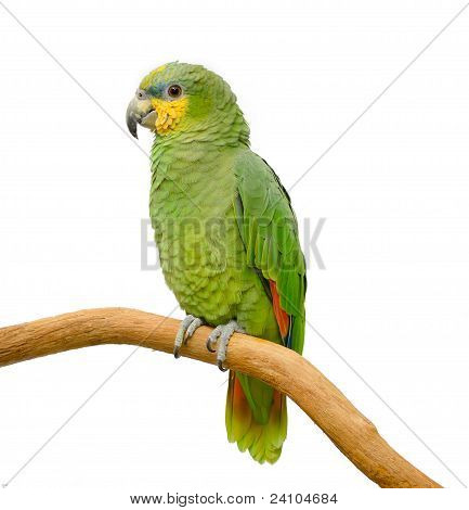 Orange winged amazon on a perch (Amazona amazonica)
