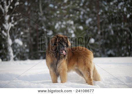 Leonberger male