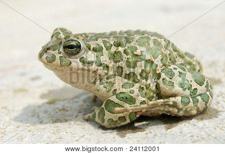 Big Toad