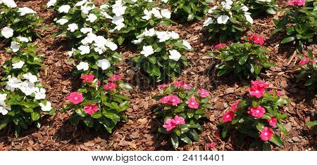 Pink And White Flowers In Pine Bark Mulch