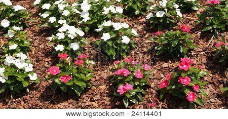 Rosa und weiße Blumen in Pine Bark mulch