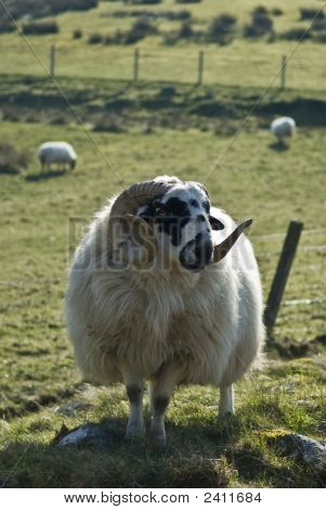 Highland Sheep Farming