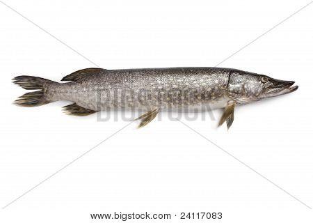 Pescado fresco Lucio