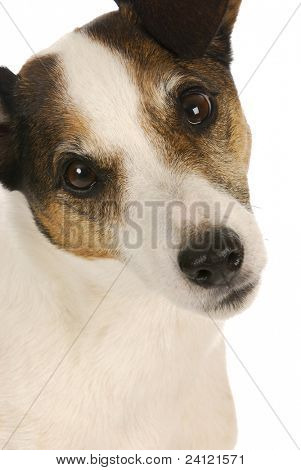 cute dog - jack russell terrier portrait on white background