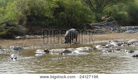 Hippos At A Sandy Bank