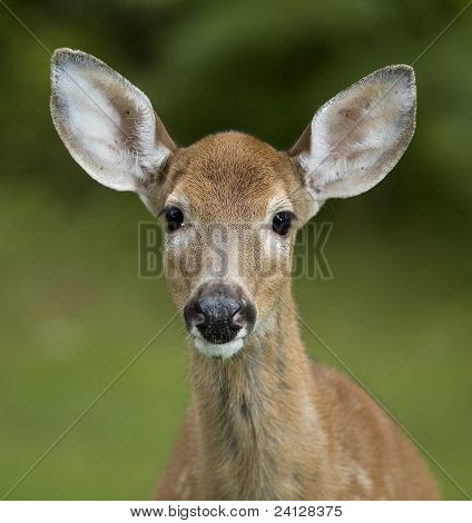 Older Fawn