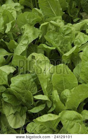 Lettuce Leafs