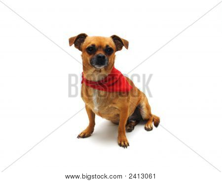 Chihuahua With Bandana