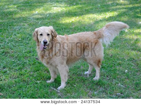 Cute Healthy Golden  Retriever Dog Walking On Green Meadow Outdoors