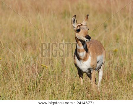 Young American pronghorn antelope