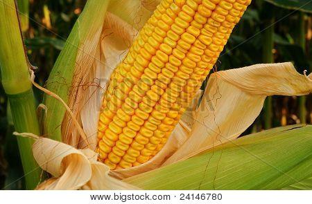 Mazorca de maíz de campo