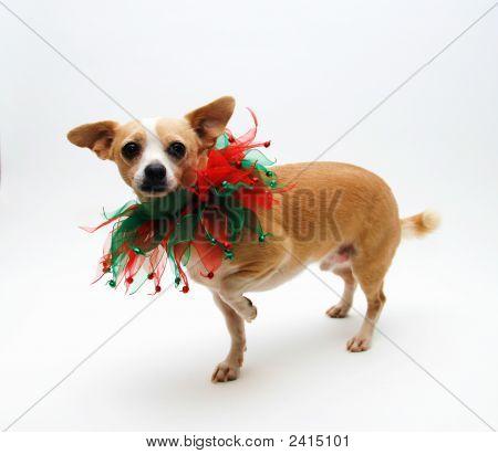 Chihuahua For Christmas