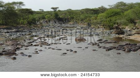 Lots Of Hippos In A River
