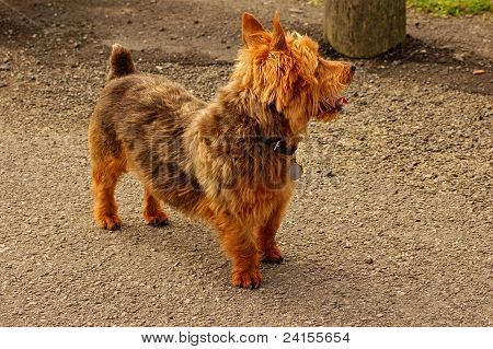 a yorshire terrier
