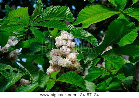 Flowering horse chestnut. Aésculus