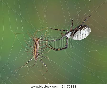 Spider Touching Centipede In Web