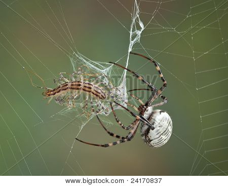 Spider Wrapping Centipede In Web