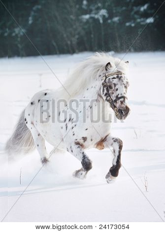 Appaloosa Pony In Snow