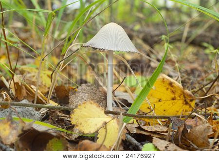 Poisonous toadstool