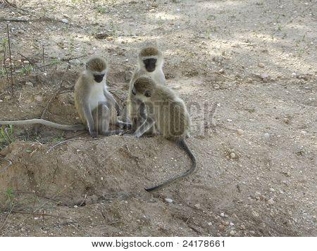 Three Sitting Green Monkeys