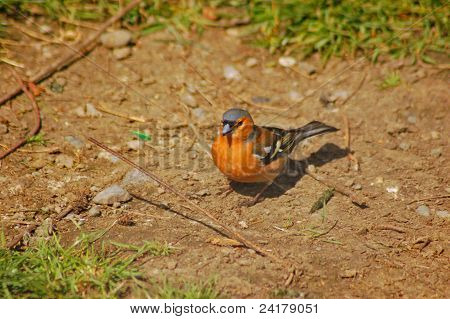 a chaffinch on the ground
