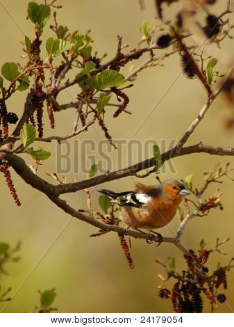 chaffinch in tree