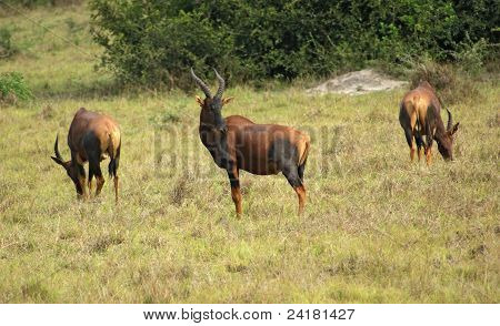 Common Tsessebe In African Savannah