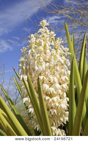 White Yucca Cactus Flowers