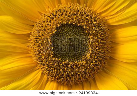 Sunflower, Stigma And Style