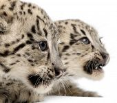 image of panthera uncia  - Snow leopards - JPG