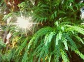 Fir Tree Or Spruce Buds. Young Green Sprouts Fir Tree Needles & Sun Rays Bokeh. Young Growing Fir Tr poster