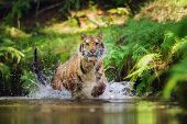 Siberian Tiger Hunting In The River. Runninh Beast Of Pray. In Front If Tiger. Big Cat In The Water. poster